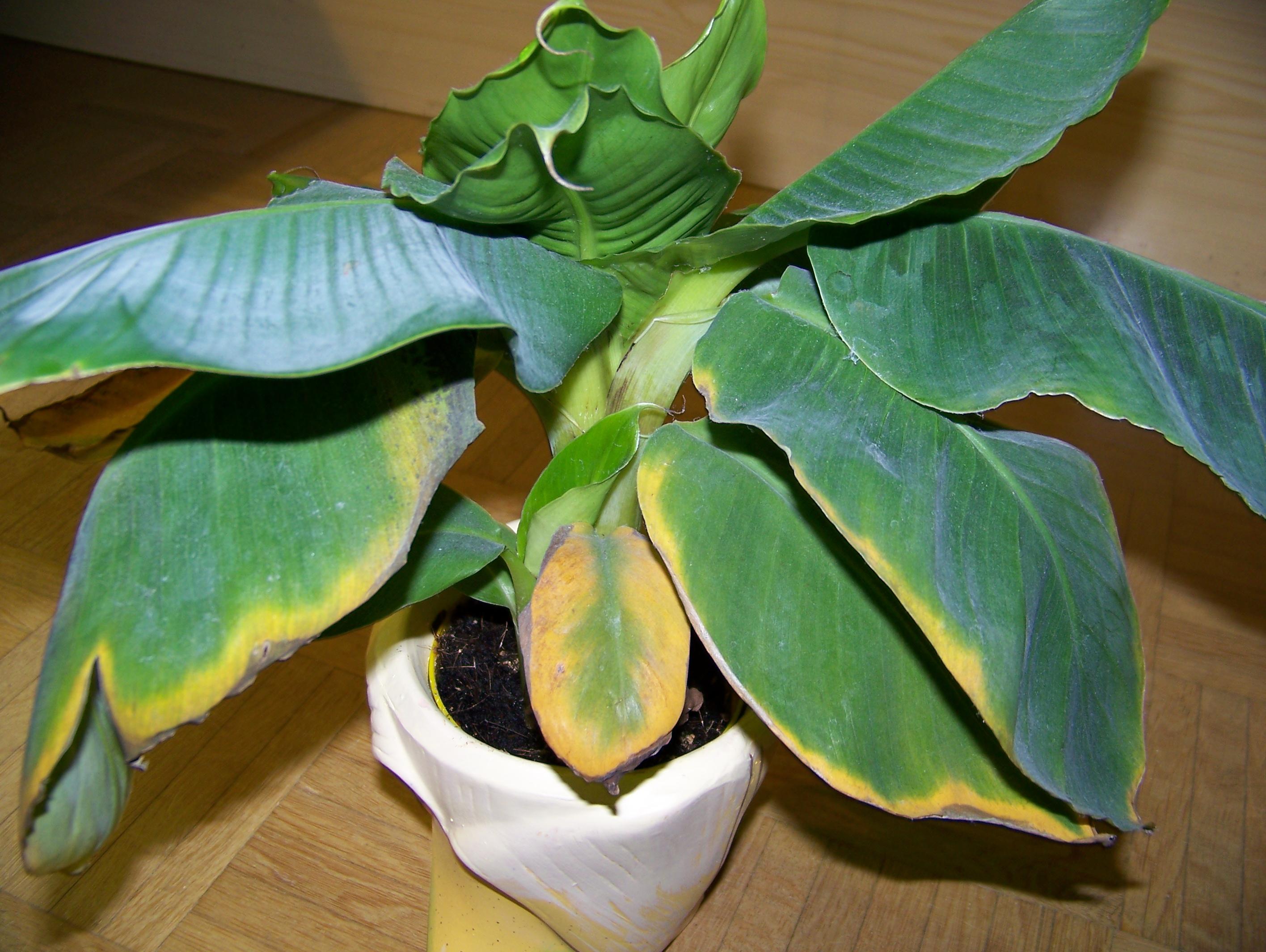 Bananenbaum bekommt gelbe Blätter wer weiss was de